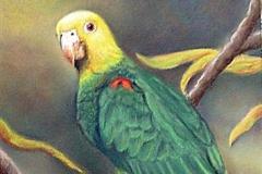 Loro Cabeza Amarilla