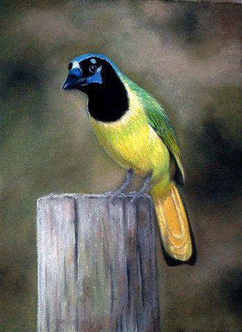 Green Jay - Anterior